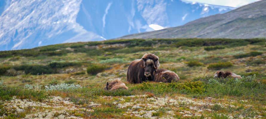 På Vågå Hotel bor I omgivet af de tre nationalparker Dovrefjell, Jotunheimen og Rondane.